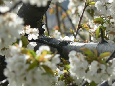 20090227171654-cerezos-en-flor.jpg