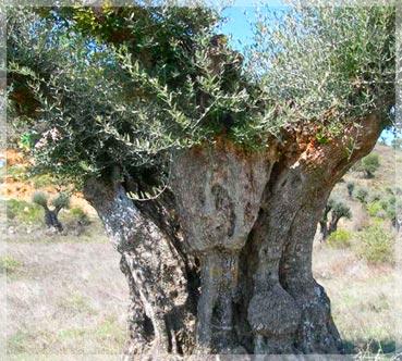 20100331183736-olivo-centenario-grande.jpg