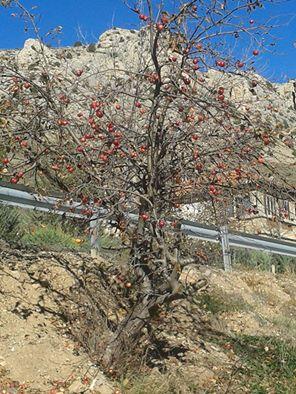 20151111172903-manzano-en-santa-barbara.jpg